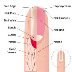 parts of the cuticle